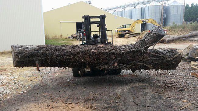 Hickory Tree Reclaimed